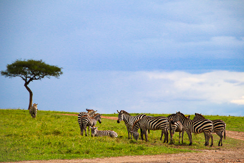 Group of zebra's